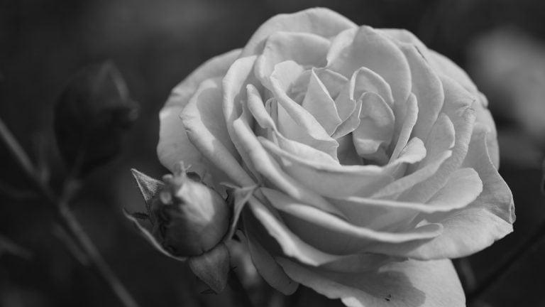 presternade positivitet rosor